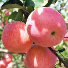 2018 new fresh fruits red Fuji apples