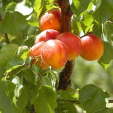 Best Quality Fresh Apricots / Dry Apricots