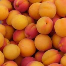 Fresh Apricots available now for sale