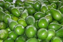 BEST PRICE of Hass Fresh Avocado/ Organic Avocado