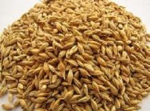 high quality grade barley grains