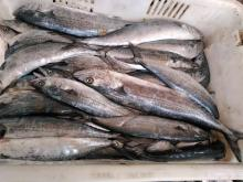 frozen spanish mackerel whole