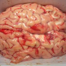 High Quality Frozen Pork Brains