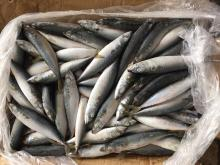 Frozen pacific mackerel 6-8pieces/kg