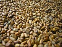 Cassia Tora Seeds for sale at discount prices