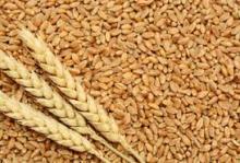 best quality wheat grain