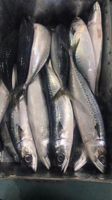 Frozen   mackerel   big  size