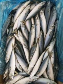 A grade pacific mackerel WR 100-200g/pc for market/bait