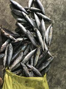seafrozen Bonito WR(Auxis Thazard)150-250g/pc for canned/ bait
