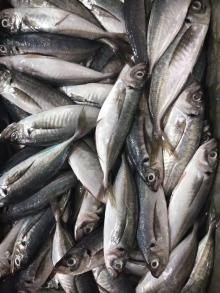 A grade Frozen horse mackerel WR 150g+/pc for market