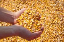 Yellow and white corn for animal feed and human consumption