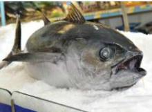 Bluefin  Tuna   yellowfin  Bigeye  Tuna  Skipjack Bonito  Tuna  Products