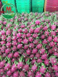 THE MOST STABLE OUTPUT DRAGON FRUIT
