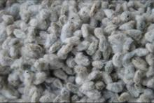 Quality Cotton Seeds