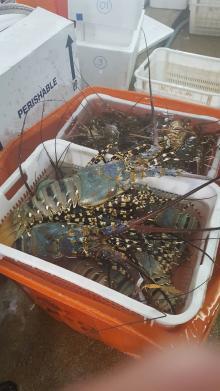 Live Tiger Lobster