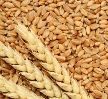 High Premium Quality Wheat Grain