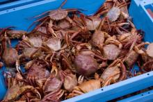 Sea craps for sell