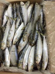frozen sardine wr