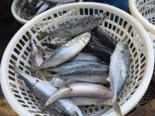frozen white belly mackerel(japonicus)