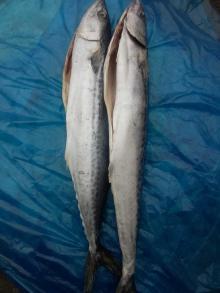 frozen spanish mackerel wr gutted