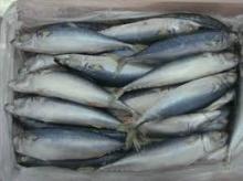 Tuna  Bonito