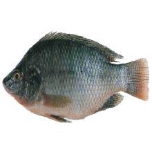 Fresh Tilapia