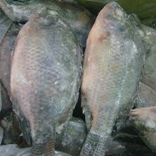 Hot sale frozen red grouper fish,Sea Bream, Horse Mackerel fish, Bonito fish, Salmon Eel for sale