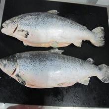 Grade A Frozen greenshell mussel,Frozen pink shrimp Escolar supplier