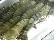 Frozen rainbow trout fish,hardshell clam,blue crab,peekytoe crab,spanner crab