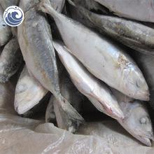 frozen sea fish ,bonito tuna fish ,Speckeld Trout for sale