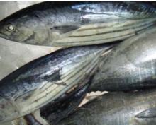 Frozen Horse Mackerel Fish Whole,Frozen Grouper fish Sale