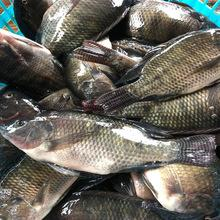 Frozen Fresh Whole Round Tilapia Products With Difference Size