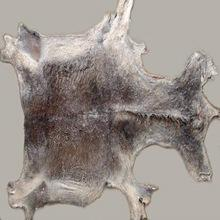 Top Quality Wet Salted & Dry salted Donkey Hides and Cow Hides, cattle for sale