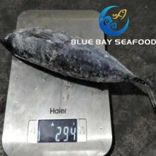 Seafrozen Whole Round Bonito Tuna Auxis Thazard Fish Made in China