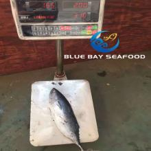 Frozen   Bonito  Tuna Auxis Thazard Seafood Fish with Good Price