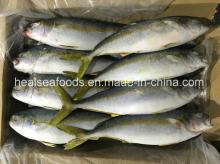 Seafood Frozen  Yellow  Tail  Scad  500/700g