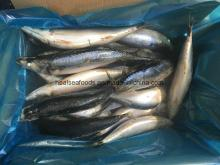 Scomber Japonicus -Frozen Mackerel From China