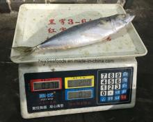 Sea Frozen Pacific Mackerel (Scomber Japonicus)