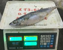 Fresh Land  Frozen   Mackerel  ( scomber   japonicus )