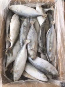 Seafrozen Mackerel  Big   Eye   Scad  4-6PCS/Kg for Market