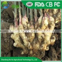 Fresh Ginger Big  Size  PVC  Box  for Export
