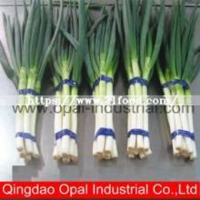 Wholesale Chinese Green Onion