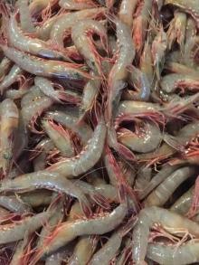 AD shrimp